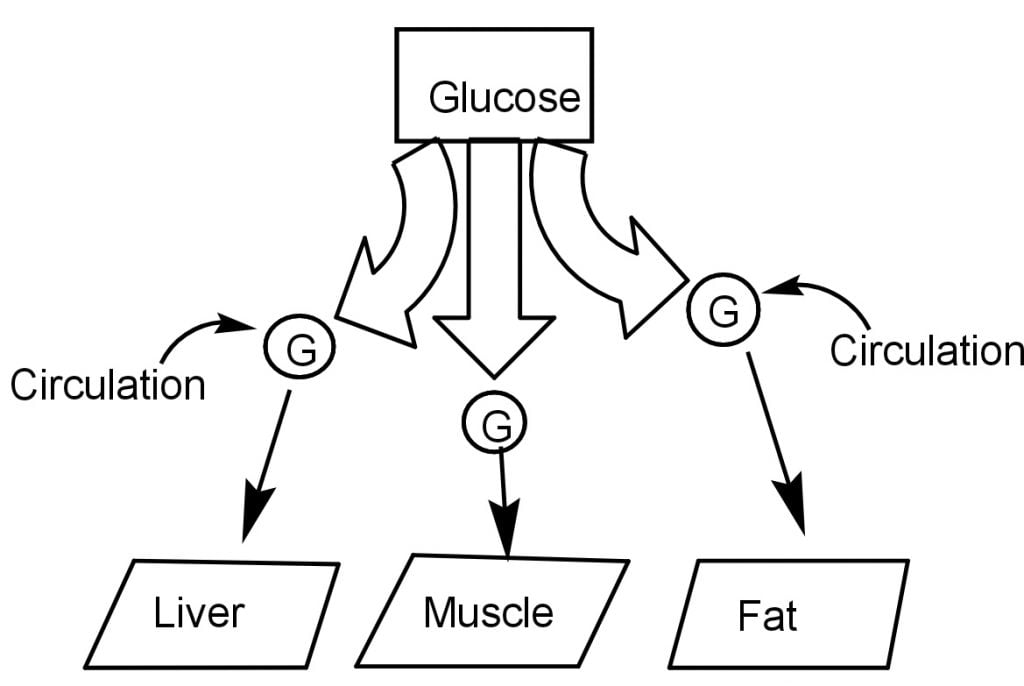 Glucose travels in all body cells.